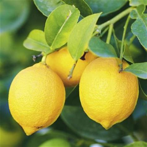 Fruit Trees Home Depot by Bloomsz 32 In 1 Year Citrus Eureka Lemon