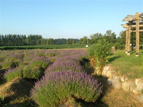 lavender labyrinth michigan see the blooming mystical lavender labyrinth said to