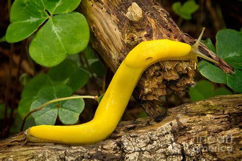 Home Decor Yellow by Banana Slug Photograph By Alice Cahill