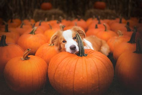 is pumpkin bad for dogs my dogs and i found a place of pumpkins and decided to some bored panda