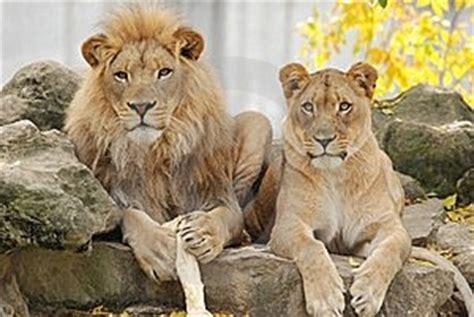 imagenes de leones macho y hembra imagen 16881068 le 243 n de pareja autor robinrwinkelman