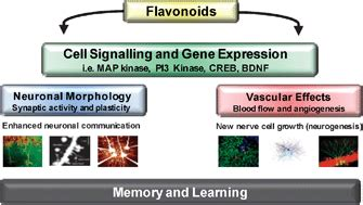 j protein chem impact factor the impact of flavonoids on memory physiological and