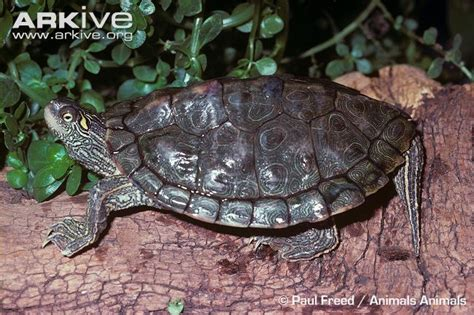 texas map turtle texas map turtle photos and facts graptemys versa arkive