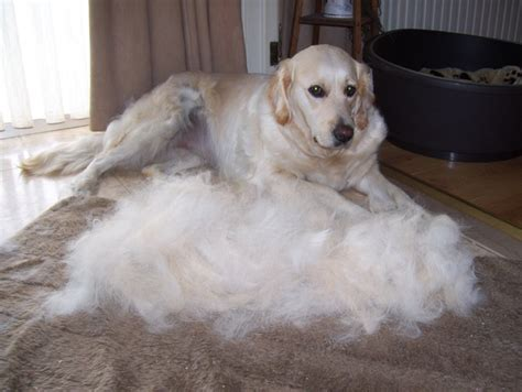 furminator for golden retriever fotoalbum abby golden retriever