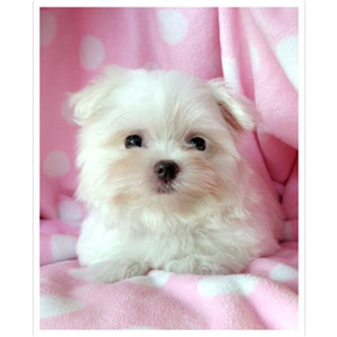 teacup puppies for sale in florida teacup maltese for sale at teacups puppies south florida polyvore