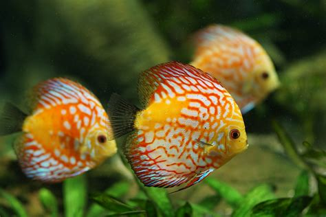 colorful aquarium fish discus fish aquarium freshwater 183 free photo on pixabay