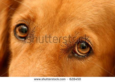 golden retriever eye color golden retriver eye quotes quotesgram