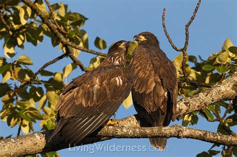 table eagle fly 54 best images about wildlife photography on