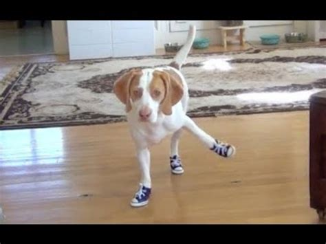 dogs walking in shoes epic compilation cats and dogs walking awkwardly with shoes