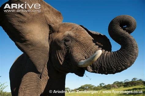 flapping ears elephant photo loxodonta africana g113259 arkive