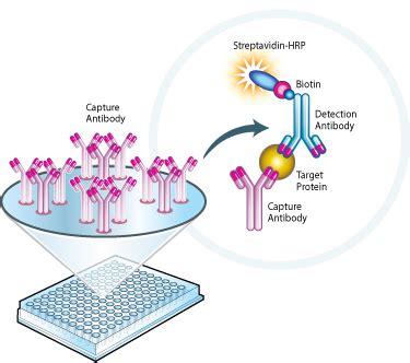 protein l hrp mitosciences sandwich elisa assay overview