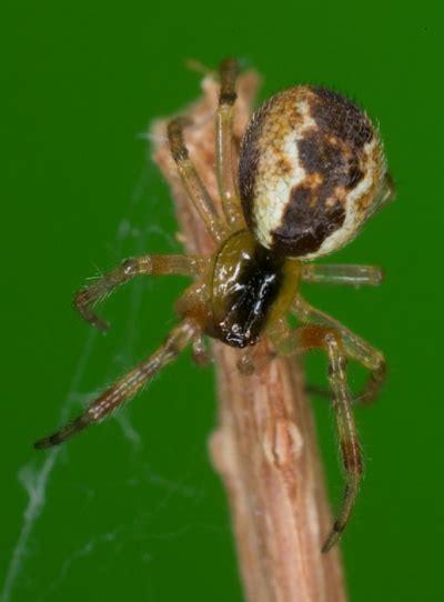 Anelosimus vittatus – Wiki des Spinnen-Forums W 6564 W