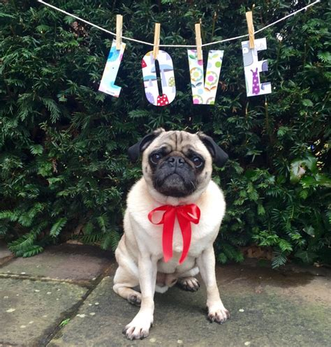 doug the pug meet and greet doug the therapy pug wants to make gays everywhere happy miami
