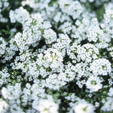 fragrant bedding plants 29 best images about fragrant flowers on