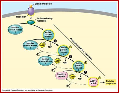 protein kinase cascade signal transduction 2