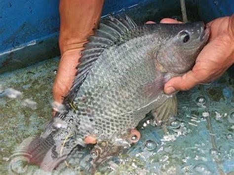 Vitamin Ikan Nila 20 manfaat dan khasiat ikan nila gesit untuk kesehatan