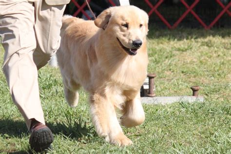golden retriever espa ol golden retriever espanol dogs in our photo