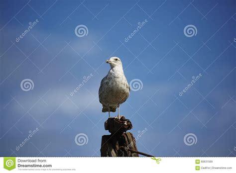 gabbiano reale nordico gabbiano reale nordico immagine stock immagine di uccello
