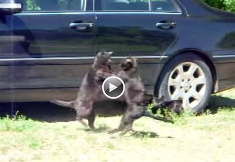 dogs up cat fight in front of mercedes c class
