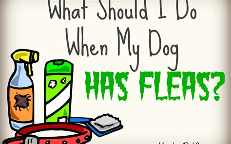 if my dog has fleas does my house what should i do when my dog has fleas karla s pet care in elk grove ca