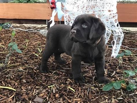 puppies for sale santa view ad labrador retriever puppy for sale california santa barbara usa