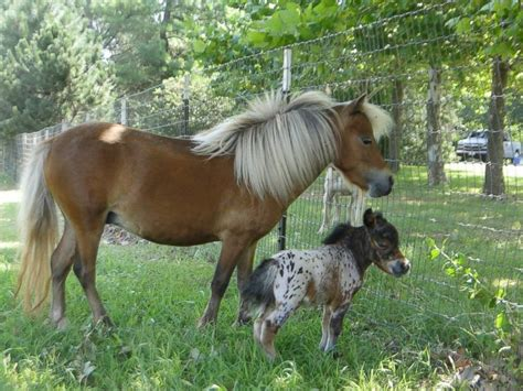 how many pony in a pound miniature for world s tiniest poised for big