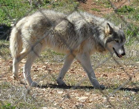 buy wolf puppies buy puppy wolf photo