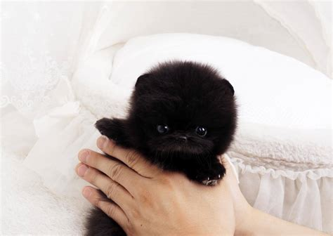 black micro teacup pomeranian black micro teacup pomeranian posh pocket pups