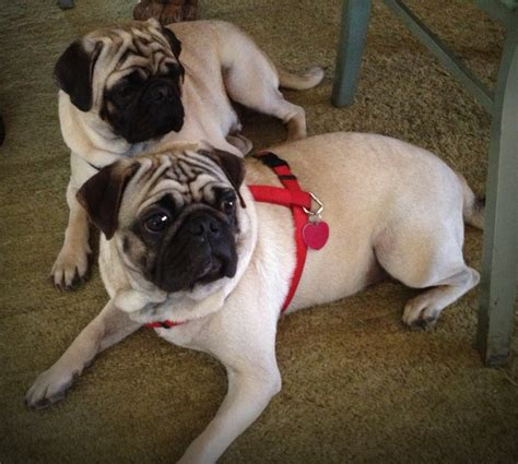 pug stories two pugs