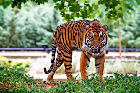 the tiger who would what is the difference between a sumatran tiger and a bengal tiger india s endangered