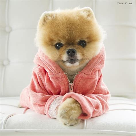 jiff pomeranian dogs who deserve more followers than you jiff the pomeranian if it s hip it s here