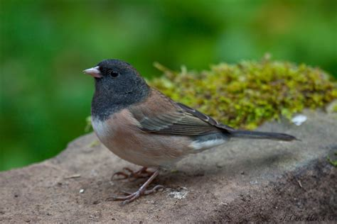 most common backyard birds common backyard birds ontario birds and herps common