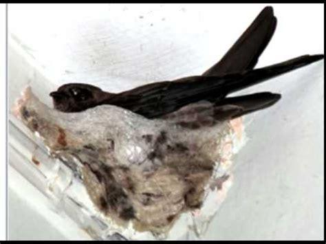 Cd Suara Walet Koloni Dalam suara burung walet dalam kandang