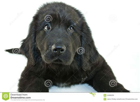 newfoundland puppy price newfoundland puppy prices breeds picture