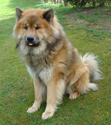 dogs puppies beautiful eurasier photo 1391 215 1563 188821 hd wallpaper res 1391x1563