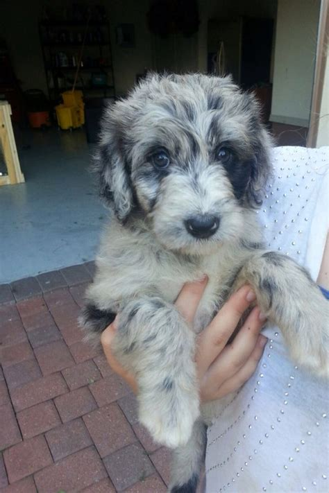 shepherd doodle puppies for sale 17 best images about aussiepoo aussiedoodle on