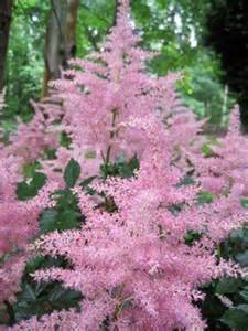 astilbe a shade loving plant perfect for zone 5 planting