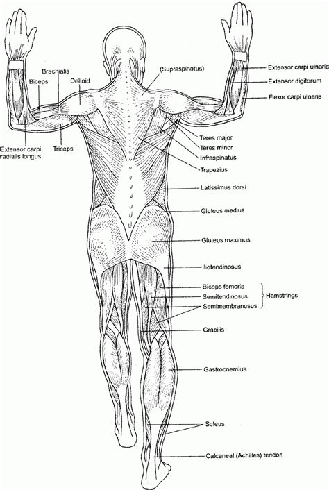 anatomy colouring book nz human anatomy coloring pages human