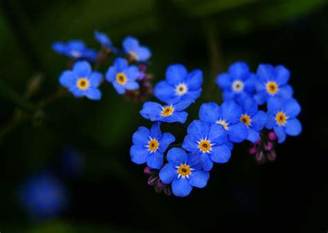 imagenes de flores no me olvides jardines cable a tierra no me olvides myosotis sylvatica