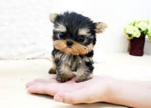 are there white yorkies image gallery white yorkies