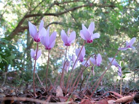 cura dei ciclamini in vaso ciclamini cura piante appartamento come curare i ciclamini