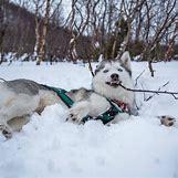 Cute Husky In Snow | 808 x 808 jpeg 106kB