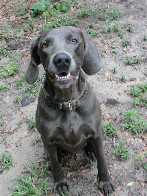 weimaraner puppies rescue image gallery weimaraner rescue