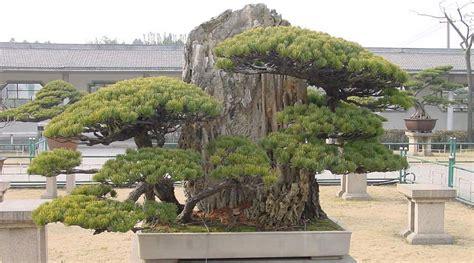 japanische möbel m 228 dchenkiefer bonsai pflege