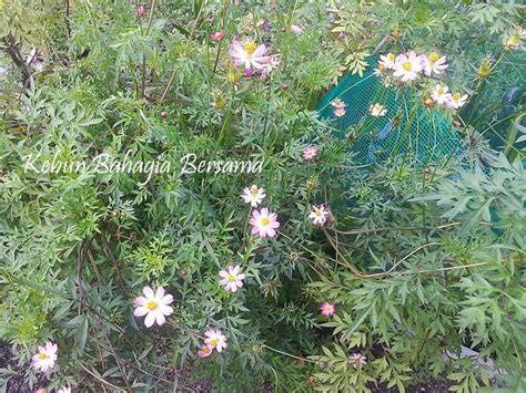 Biji Benih Bunga Merabilis Mixed Colort Seed Flower kebun bahagia bersama cosmos carnival