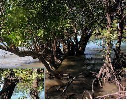Cacing Subang ekosistem mangrove beserta rantai makanannya di pesisir