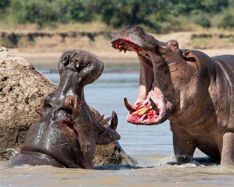 siege hippopotamus travel photographer captures hippo fight as animals