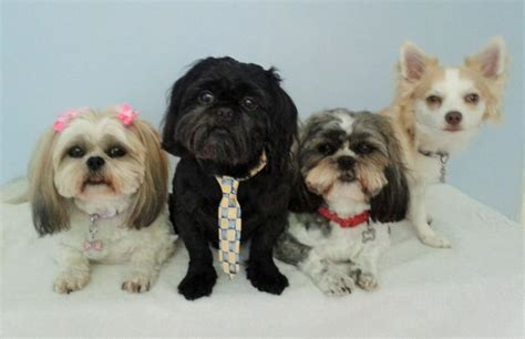 1000 images about barkley shih tzu hair cuts on pinterest 1000 images about barkley shih tzu hair cuts on pinterest