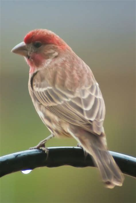 red headed sparrow red headed sparrow flickr photo