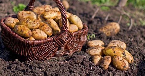 Kartoffeln Richtig Lagern 4999 by Kartoffeln Richtig Lagern 5 Tipps Mein Sch 246 Ner Garten